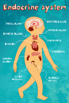 anatomi endokrine system