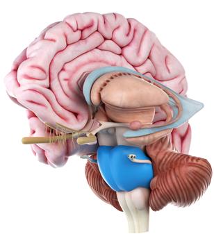 Anatomi Nervesystemet