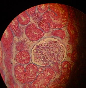 Anatomi nyre urinveiene