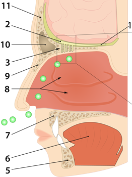 Anatomi Sansene