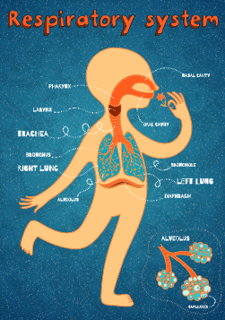Respirasjonssystemet Arbeidsbok Anatomi