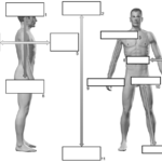Anatomi rettniger
