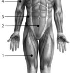 Muskler fra anterior