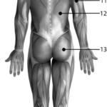 Muskler fra posterior