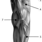 Muskler fra lateral