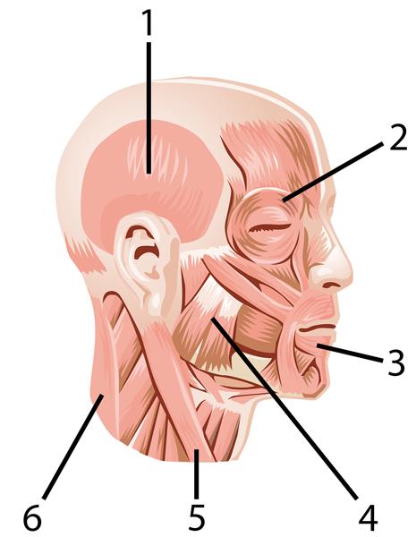 Muskler hodet