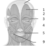 Mimisk muskulatur