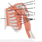 muskler rundt skulderleddet