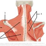 muskler rundt skuldra