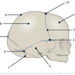 Spedbarnets skalleoverflate