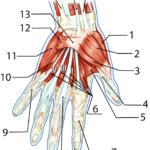 Håndens muskler