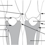 Kneleddet fra anterior
