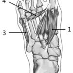 Musklene i foten fra plantar