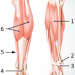 Musklene i leggen