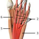 Musklene i foten dorsal