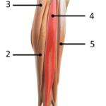 Musklene i leggen fra lateral