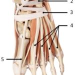 Musklene i foten fra dorsal